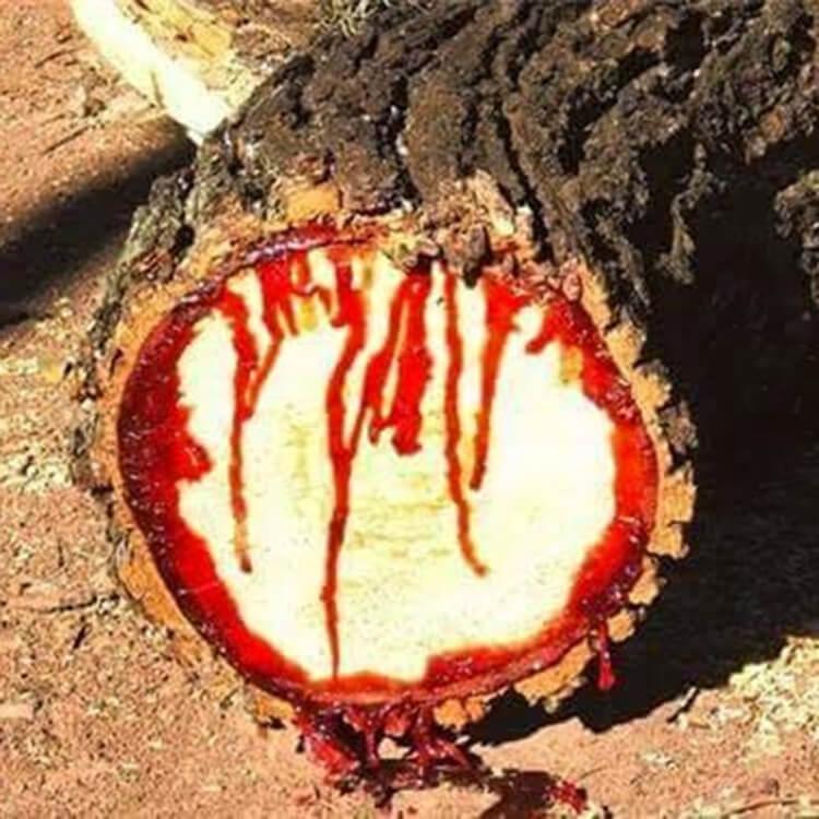 Gỗ huyết rồng thật thì chuỗi hạt mới hoàn thiện sẽ không có mùi thơm, khi được tiếp xúc với ánh sáng, mồ hôi, hơi người (khoảng 1 tháng) gỗ sẽ có mùi thơm thoang thoảng, đeo càng lâu càng thơm và gỗ sẽ lên nước rất đẹp
